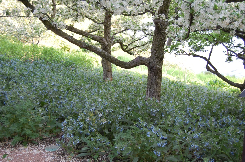A carpet of low-growing blue comfrey carpets the ground under some of the trees.