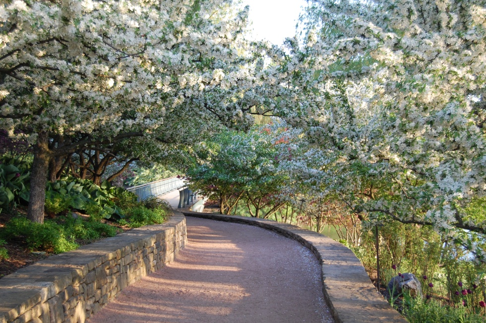 You walk past the English garden to a path that is under a virtual tunnel of crabapple blooms