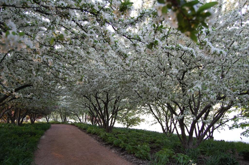 Chicago Botanic Garden, crabapple blossom