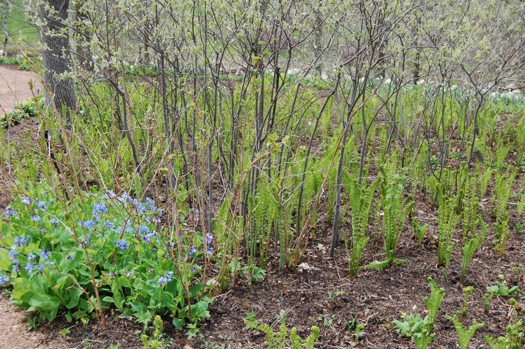 Ferns Chicago Botanic Garden
