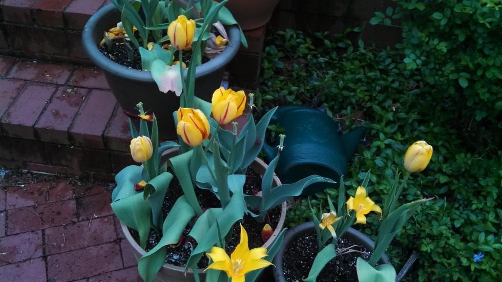 Tulip 'La Cortine;