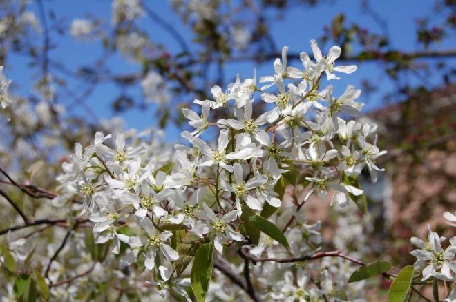 Serviceberry 'Autumn Brilliance'