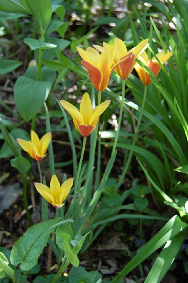 Tulip 'Cynthia'