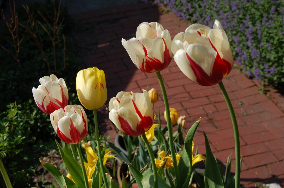 Tulip 'World Expression'