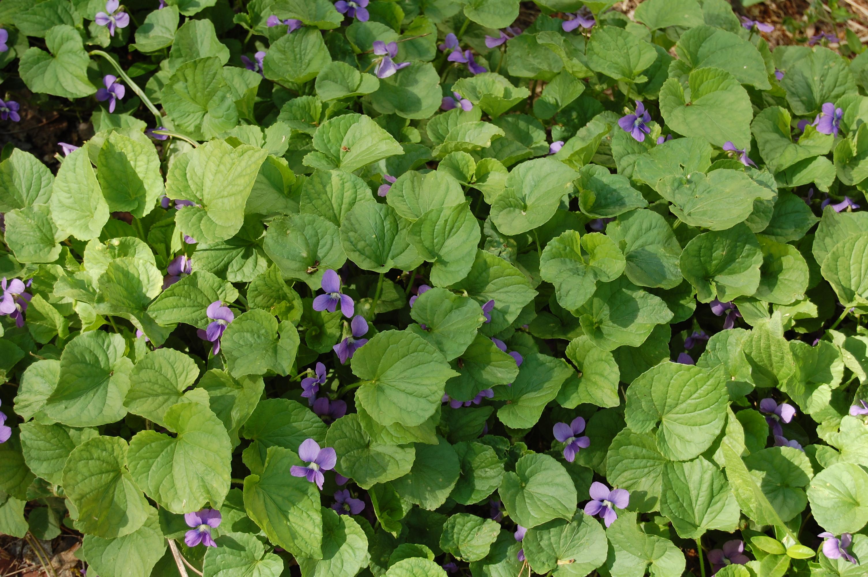 Violets love them or hate them gardeninacity common violets mightylinksfo