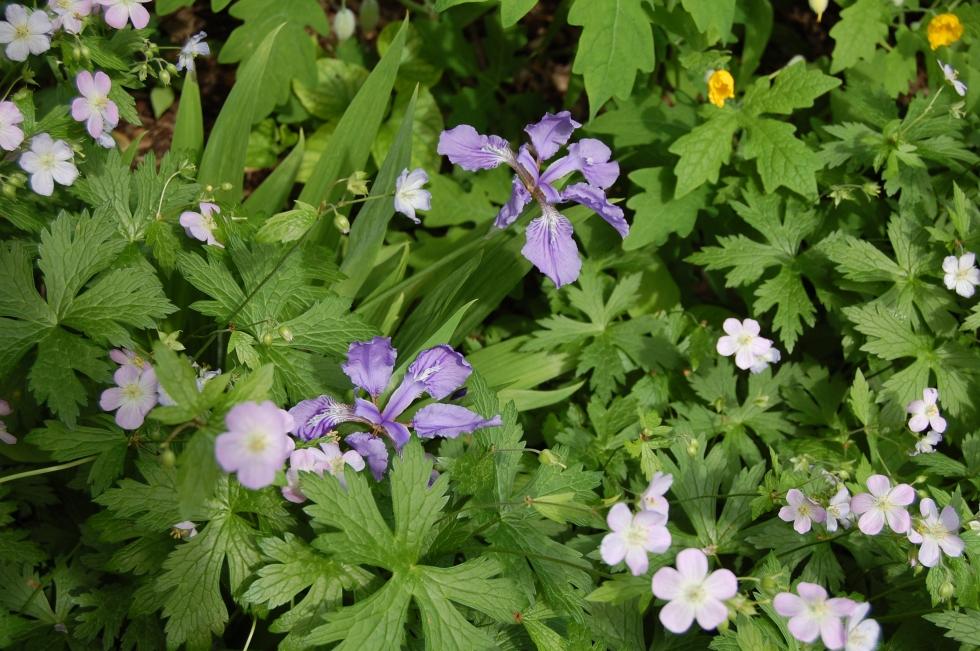 Roof Iris, Wild Geranium