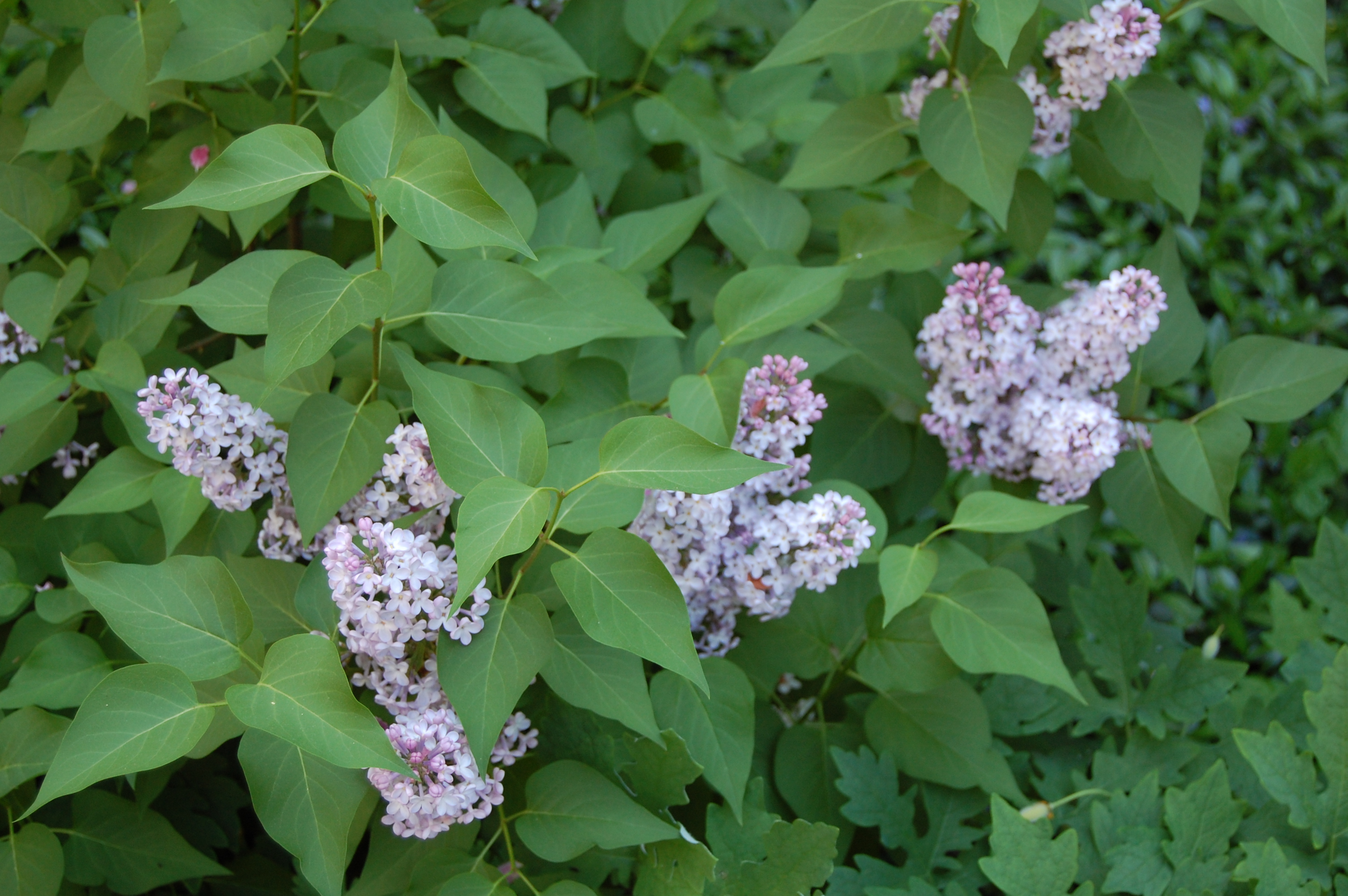how to take a cutting from a lilac bush