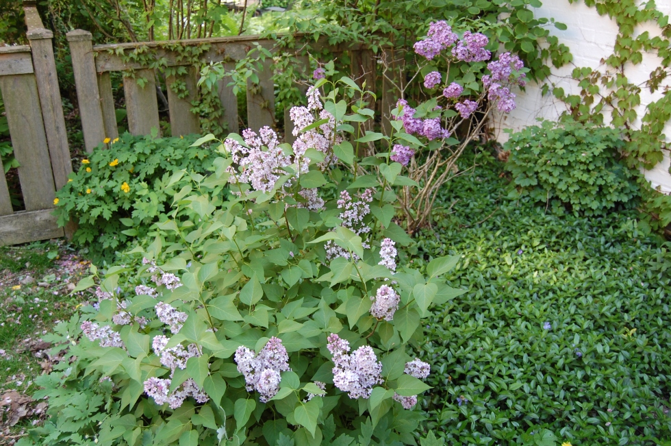 Eventually this lilac should reach ten feet or so.