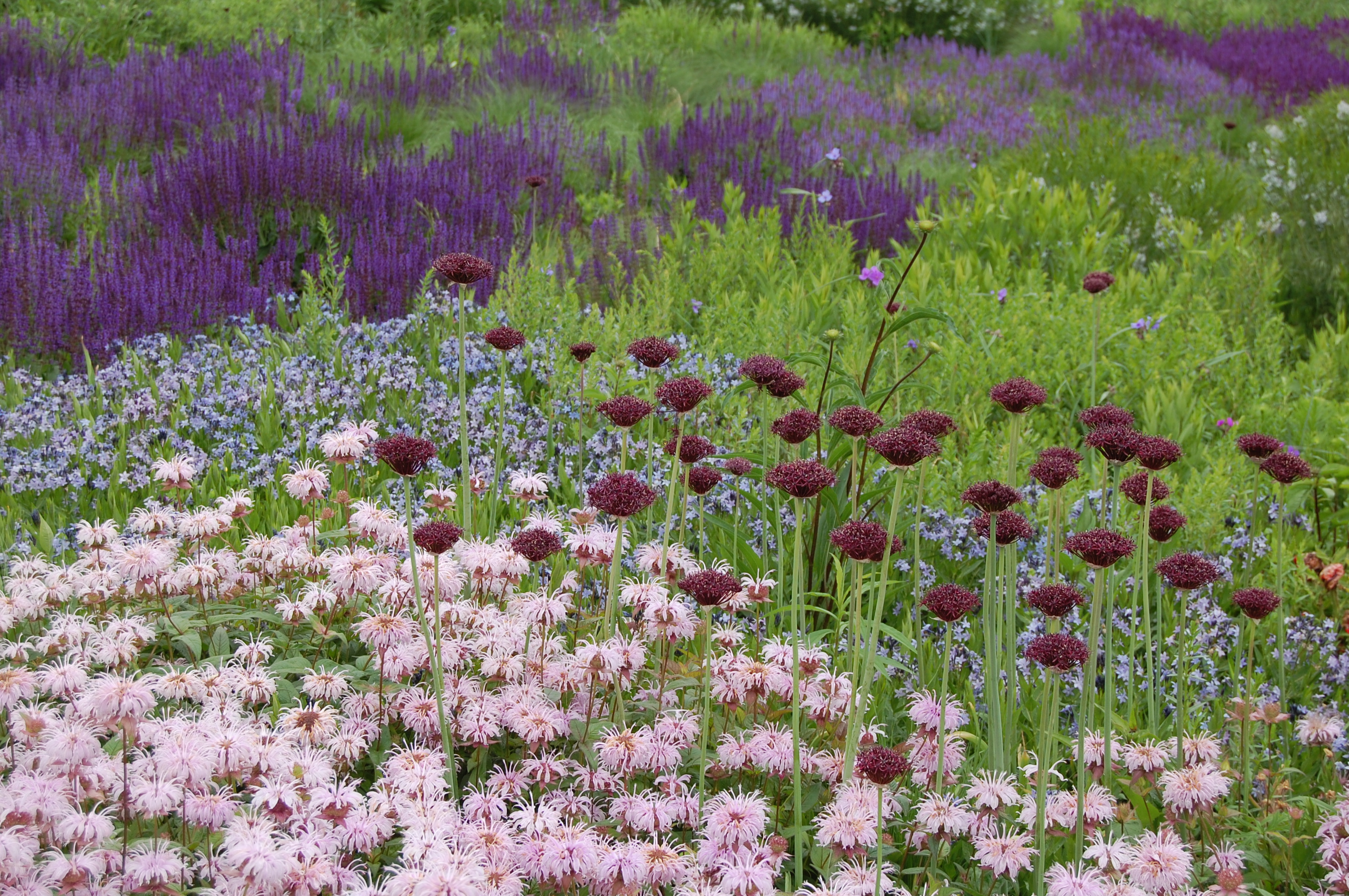 Monarda bradburiana gardeninacity for Landscape gardeners