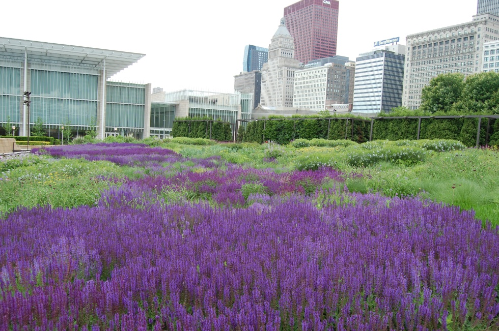 Lurie Garden Salvia