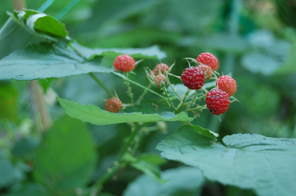 Black Raspberries Unripe