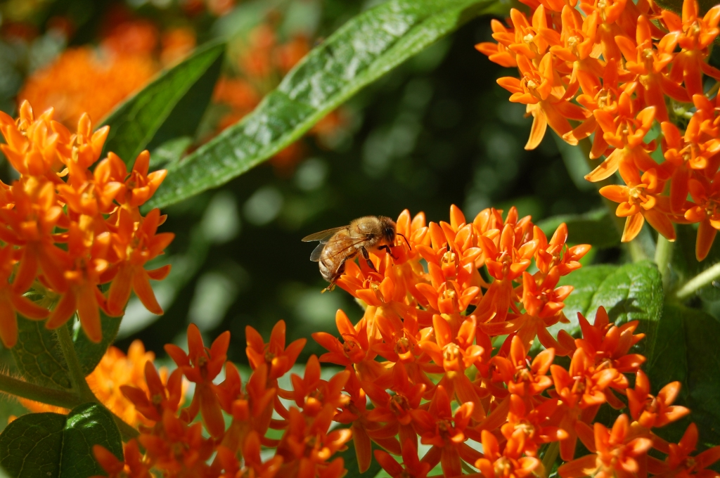 Butterflyweed and bee