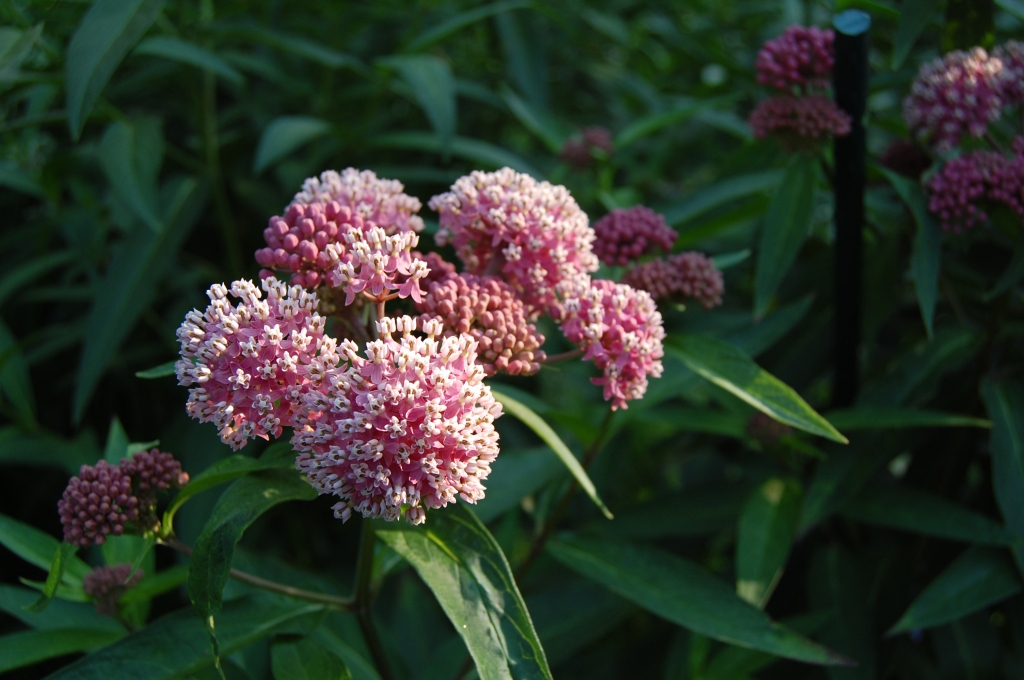 Red or Swamp Milkweed prefers sun and moist soil.