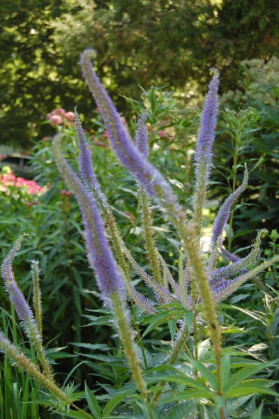 Culver's Root 'Fascination'
