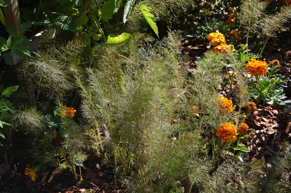 Self-sown fennel.