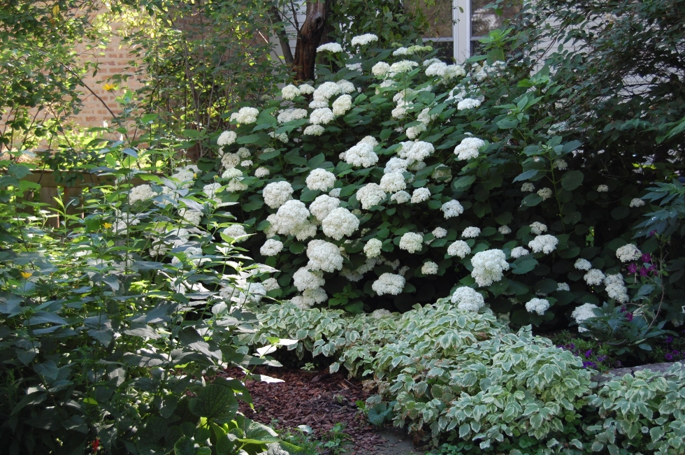 Bishops Weed at the base of the Hydrangea.