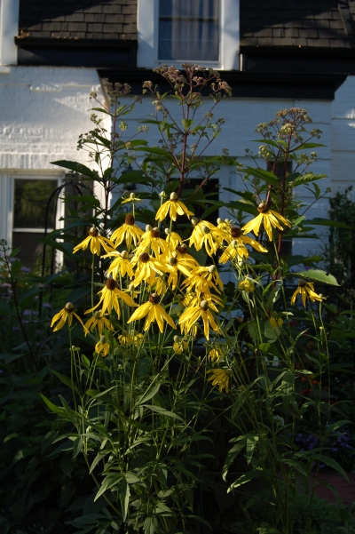 Yellow Coneflower, Joe Pye Weed
