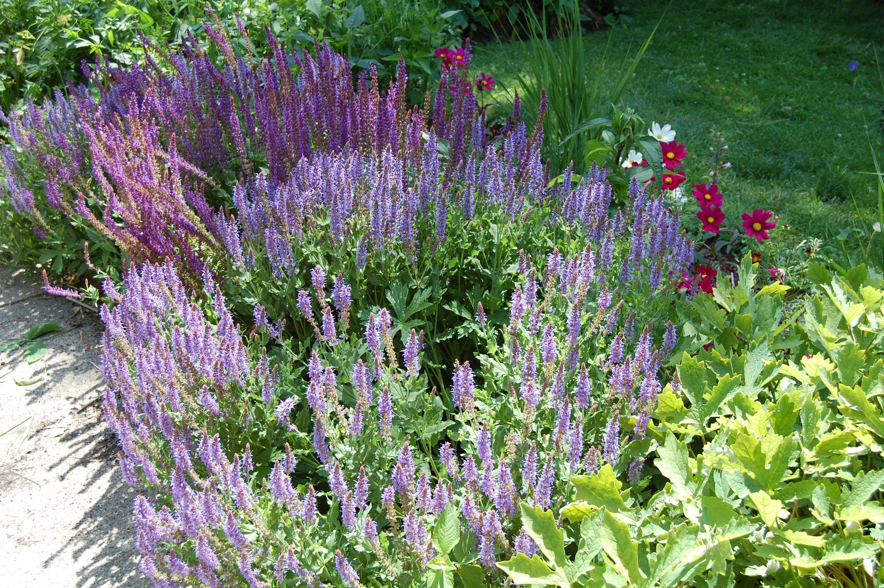 Salvia May Night Gardeninacity
