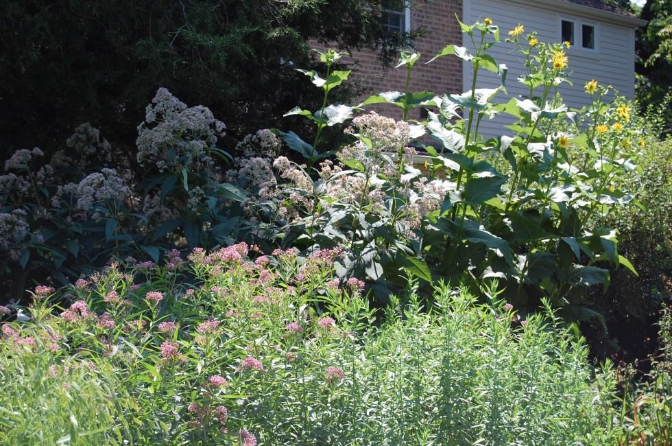 Sweet Joe Pye Weed, Cup Plant