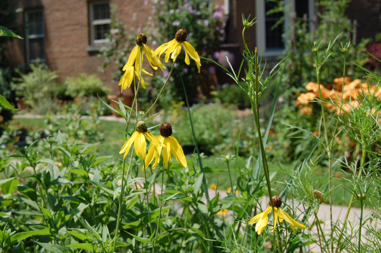 Wildflower Wednesday Yellow Coneflower Gardeninacity