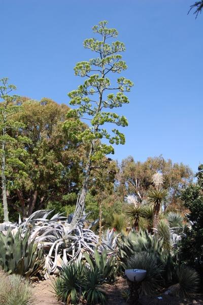agave spike