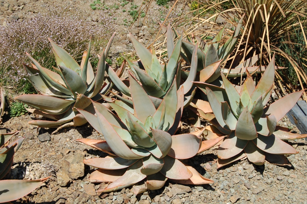 big aloes