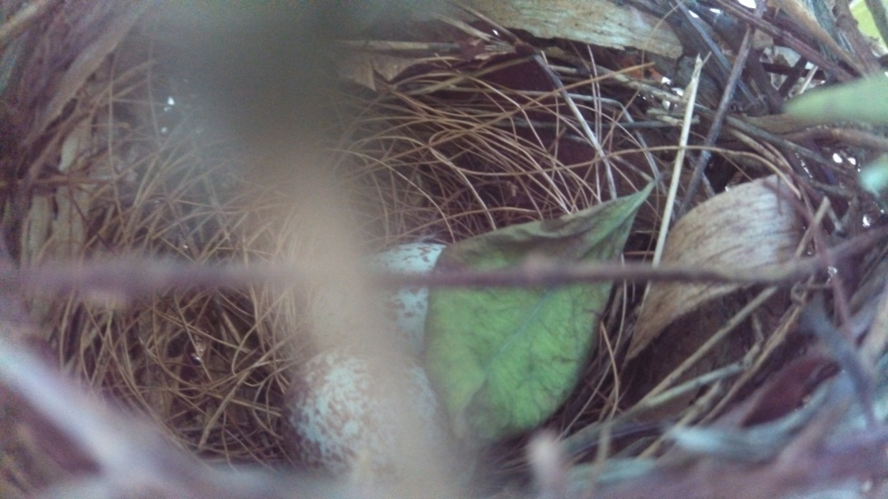Northern Cardinal Eggs