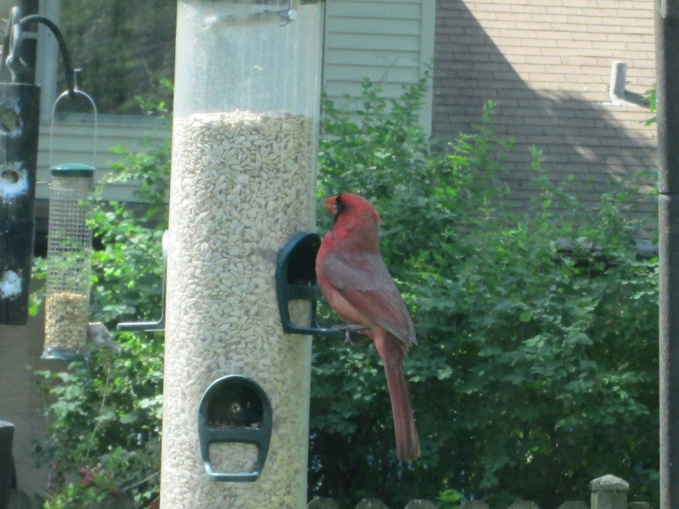 Where is your nest now, Mr. Cardinal?
