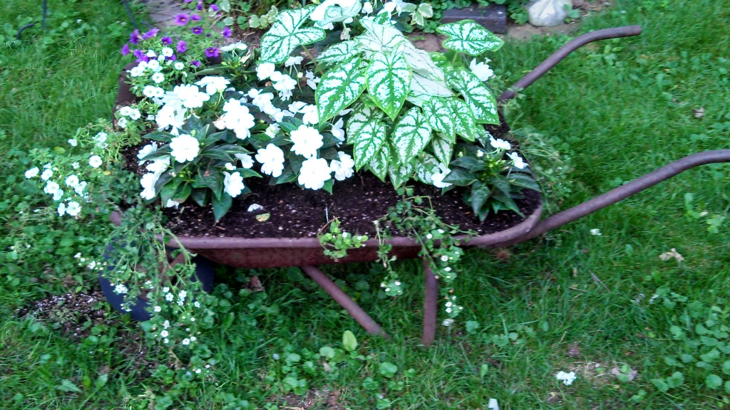 New Guinea Impatiens with Caladium and Bacopa (post massacre). Jason cell phone picture, not a very good one.