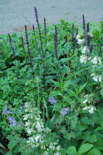 Salvia 'Carradonna', Phlox Miss Lingard, Geranium Tschelda