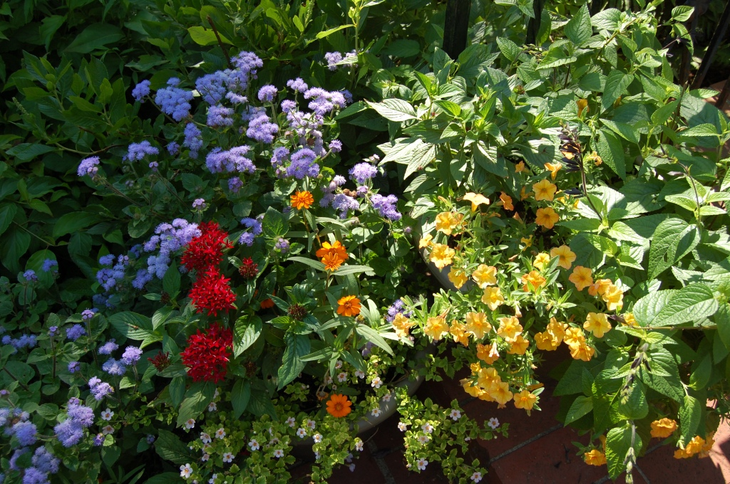Star Flower, Floss Flower, Calibrachoa, and Zinnia in containers on the front step. Photo: Judy