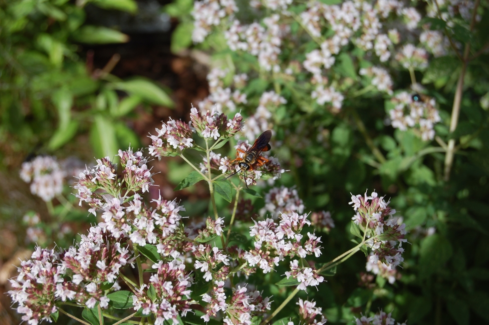 Wasps, Oregano flowers