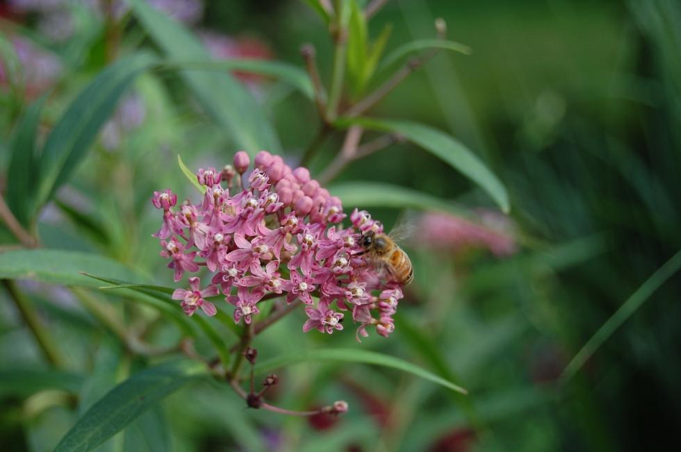 Bees, Swamp Milkweed