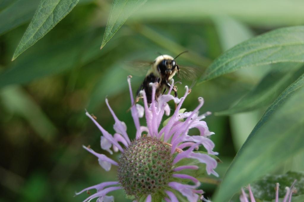 Bumble Bee, Wild Bergamot