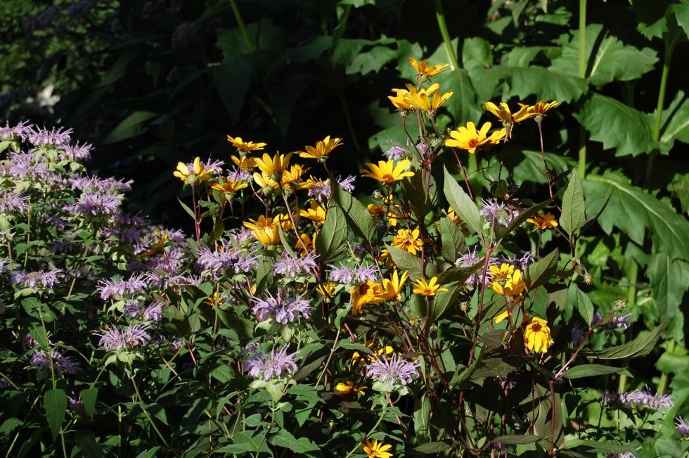 Heliopsis helianthoides Prairie Sunset