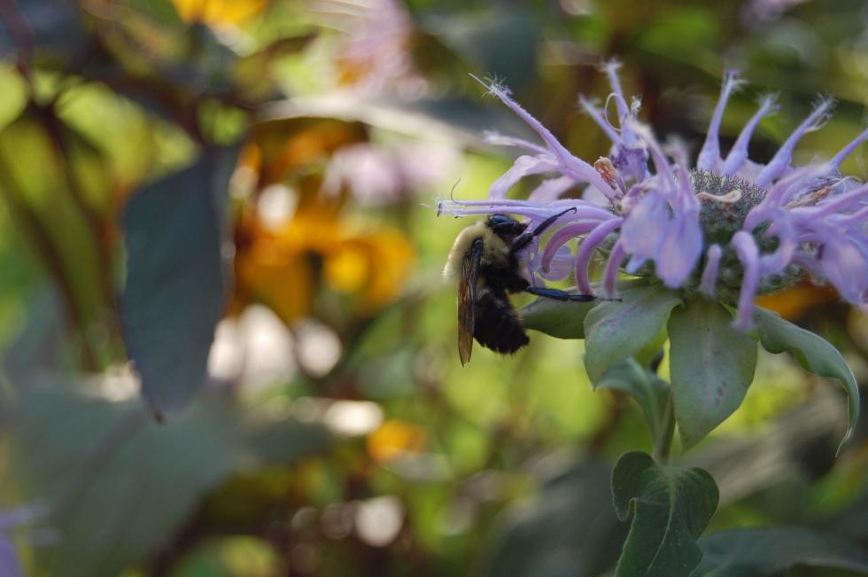 Bees, Wild Bergamot