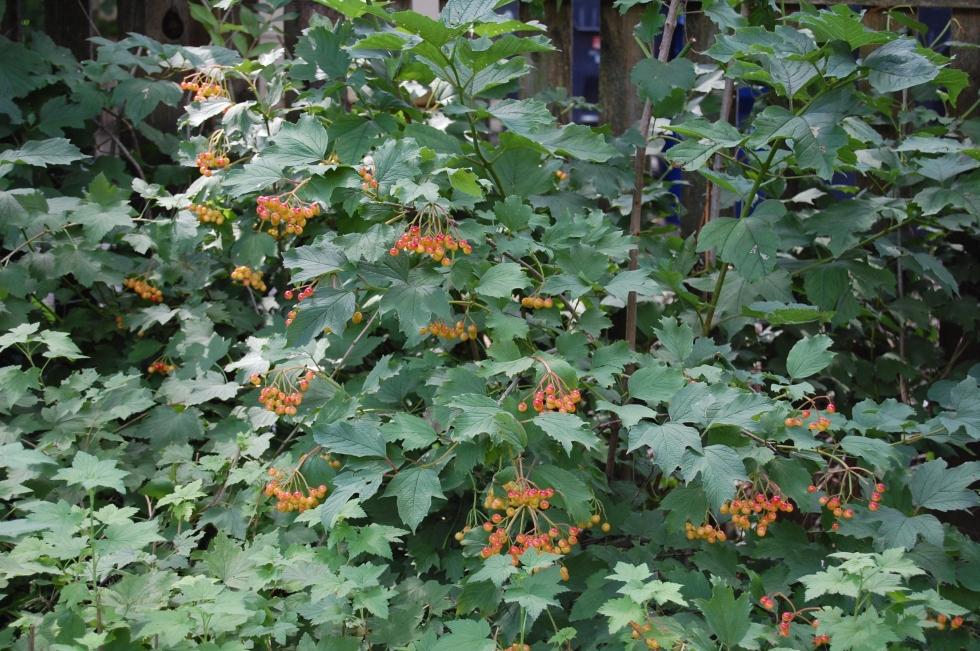 Cranberrybush Viburnum