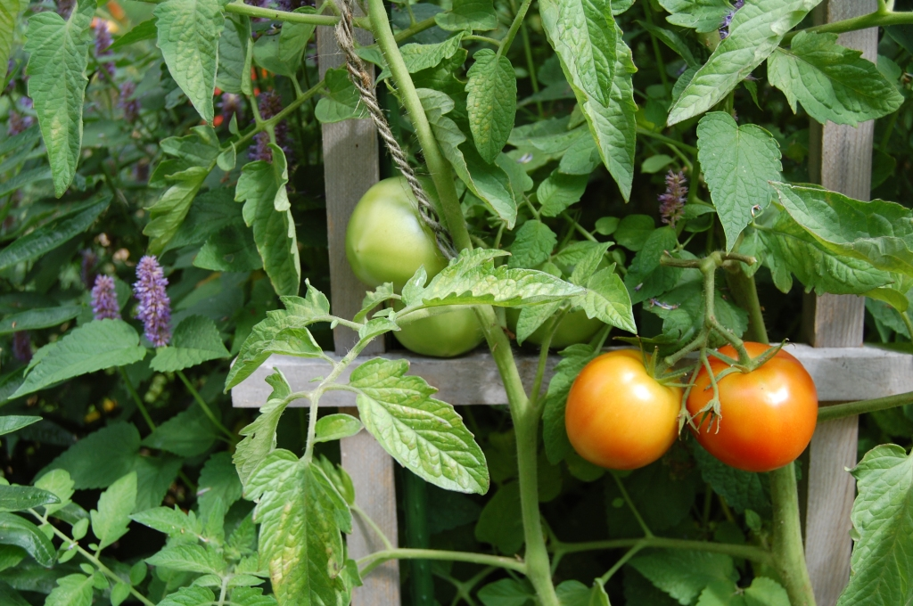'Early Girl' Tomato