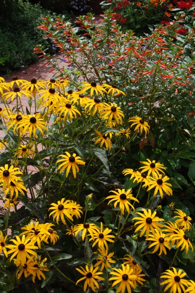 Orange Coneflower