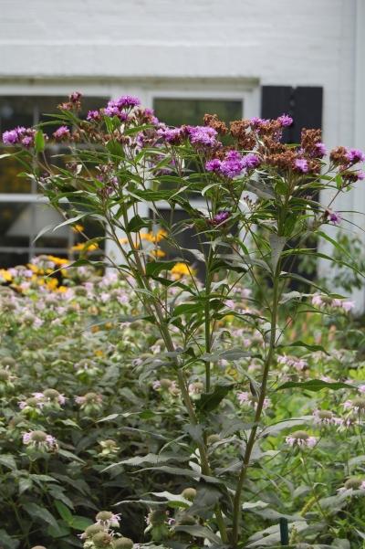 2013-08-11 11.44.26 ironweed
