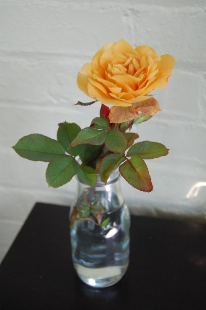 Rose 'Strike It Rich'