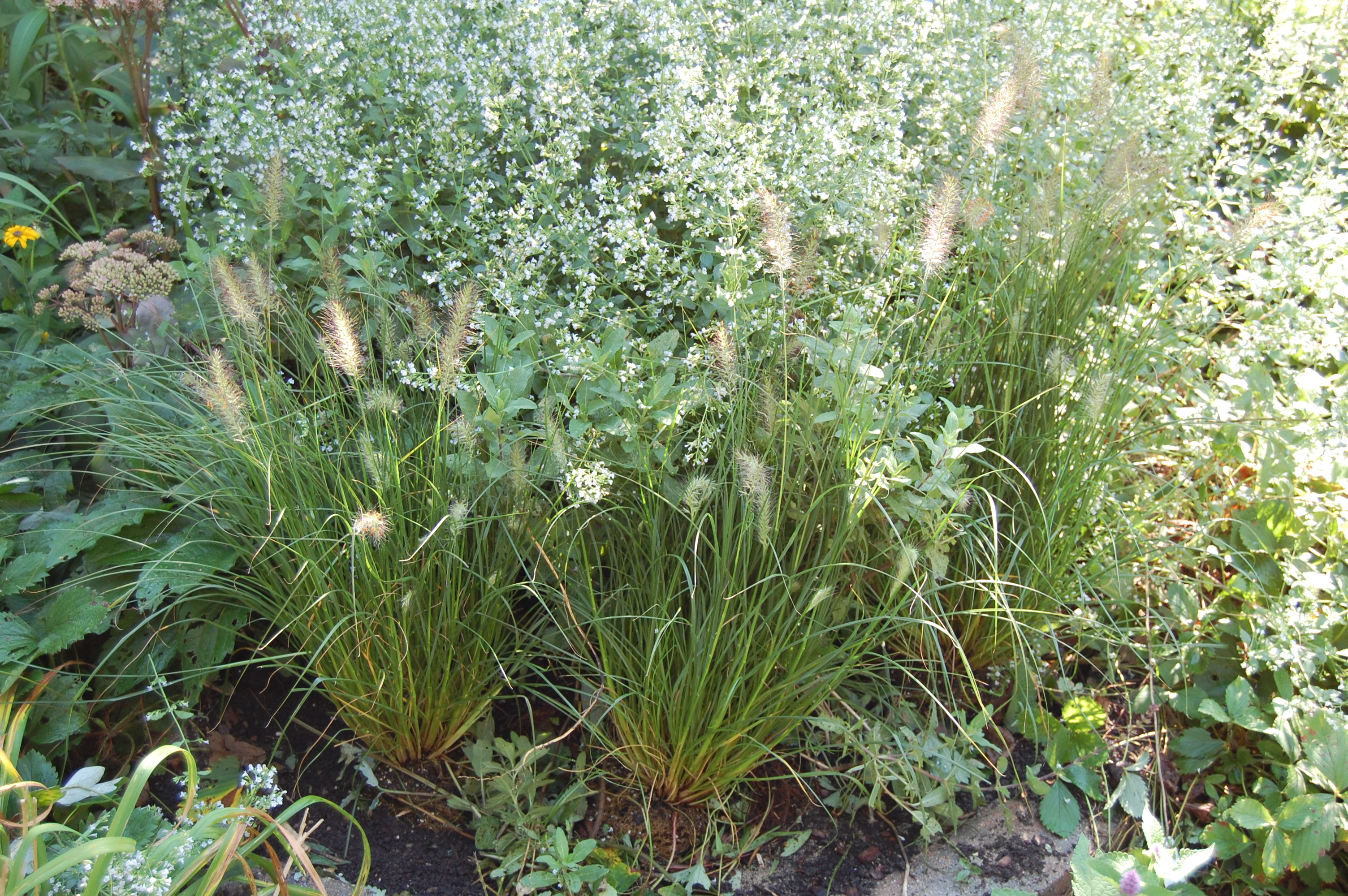 301 moved permanently for Dwarf grasses perennials