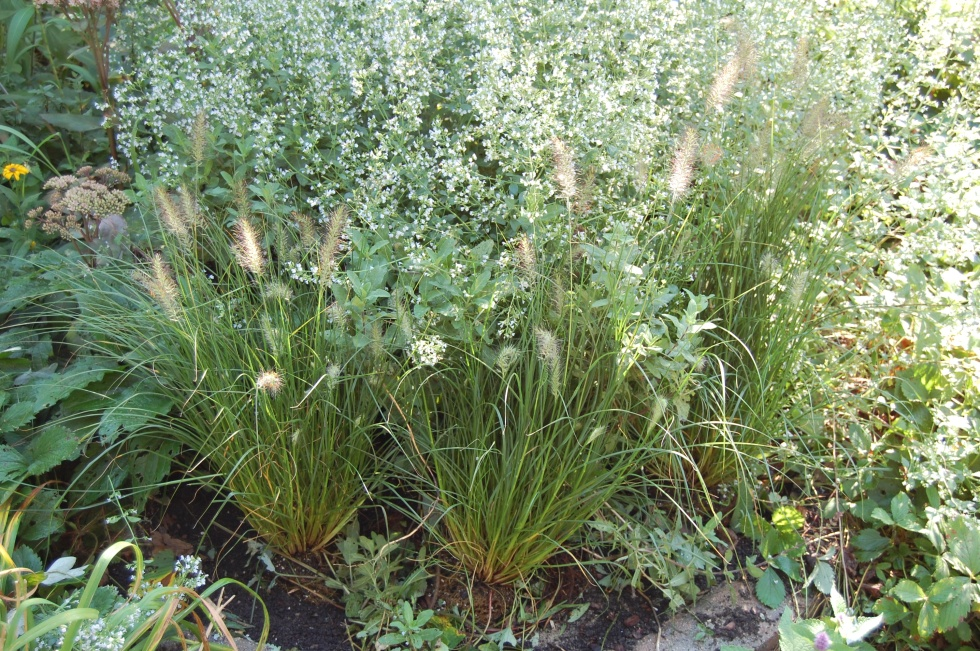 Dwarf fountain grass Piglet