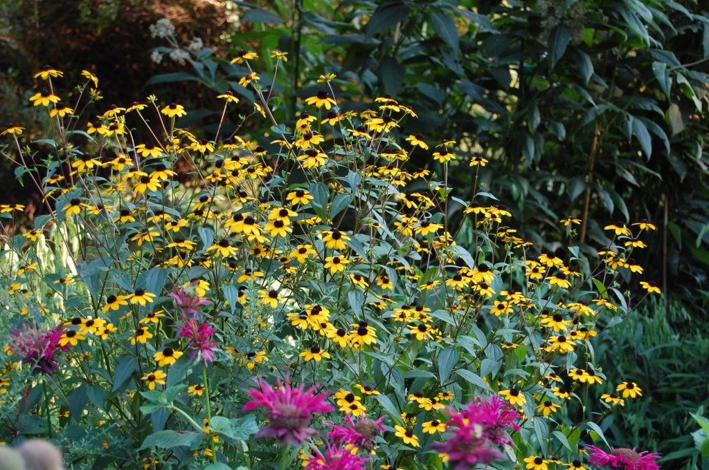 Brown Eyed Susans with Bee Balm