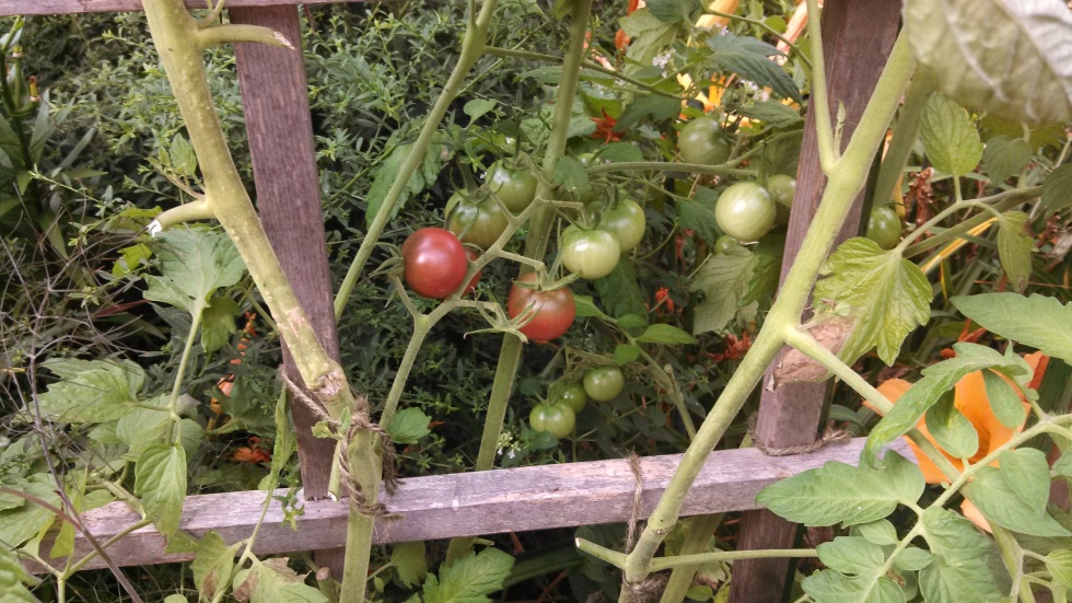 'Black Cherry' tomatoes