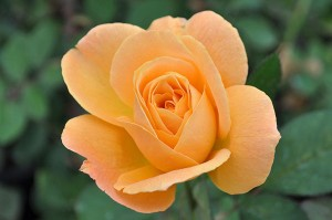 'Strike It Rich' rose