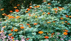 Mexican Sunflower habit. Photo: ag.auburn.edu.