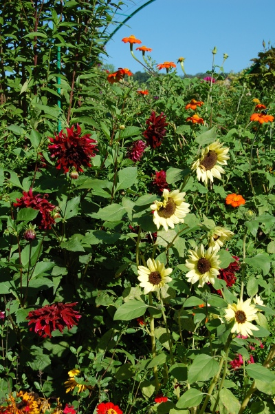 Sunflower (looks like 'Italian White') with red dahlias and orange Tithonia.