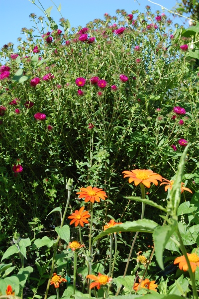 Tithonia, New England Aster, Giverny