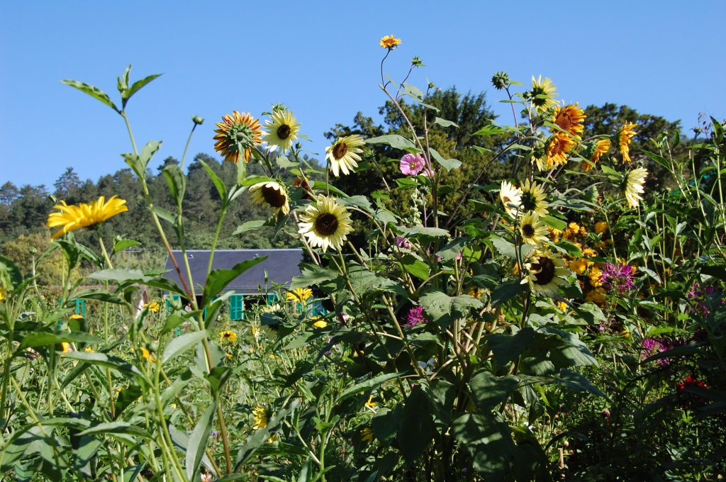 Sunflowers, Giverny